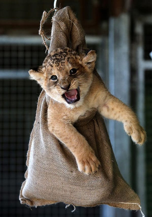 Amazing lion cubs pictures (21)
