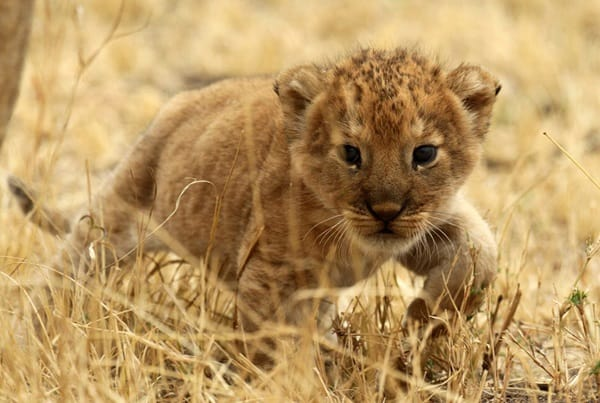 Amazing lion cubs pictures (26)