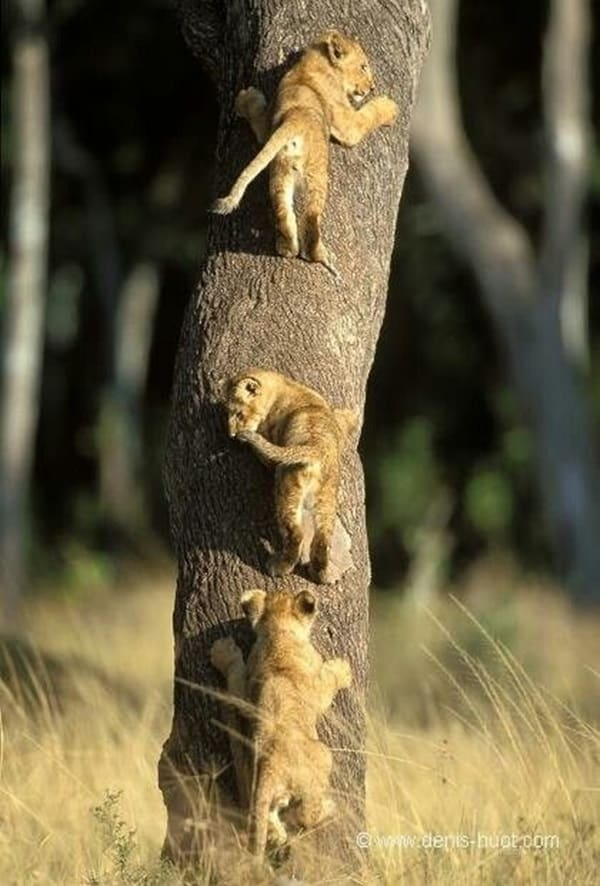 Amazing lion cubs pictures (27)