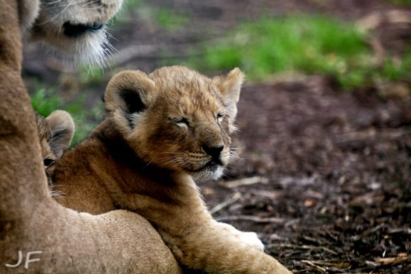 Amazing lion cubs pictures (28)