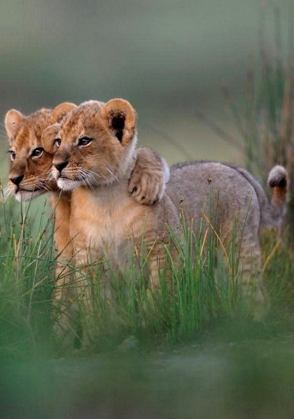 Amazing lion cubs pictures (29)