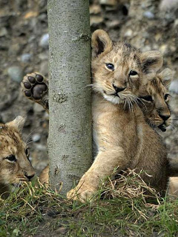 Amazing lion cubs pictures (3)