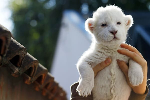 Amazing lion cubs pictures (30)