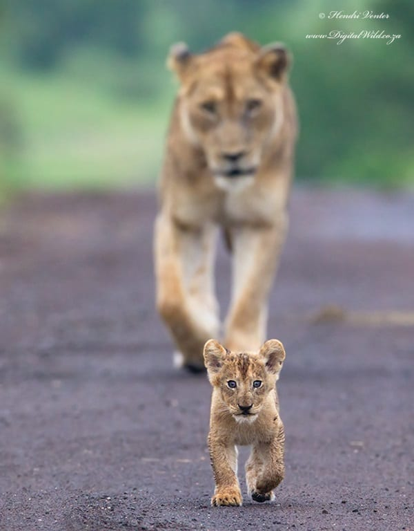 Amazing lion cubs pictures (33)
