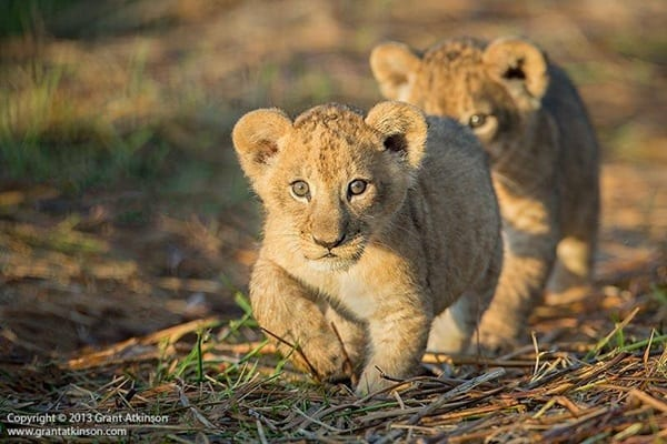 Amazing lion cubs pictures (34)