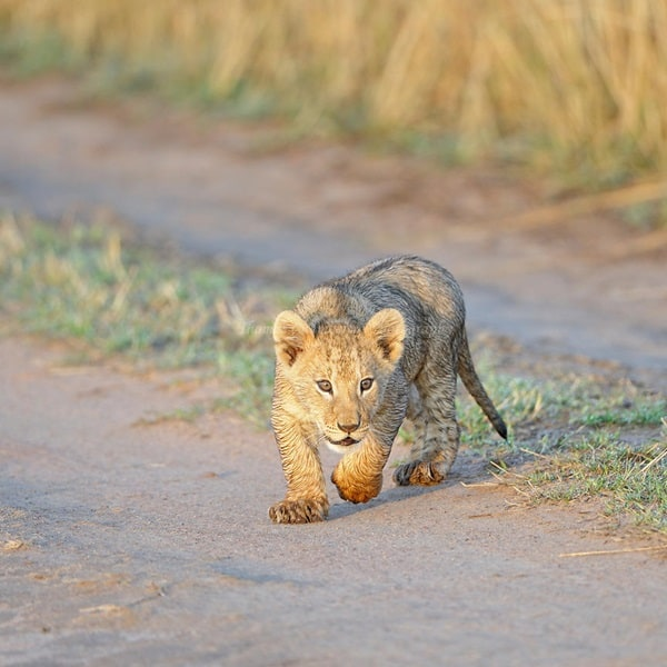 A young lion cub looking lost without his mother, who is hunting wildebeest nearby.