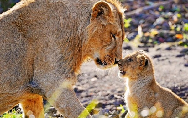 Amazing lion cubs pictures (36)