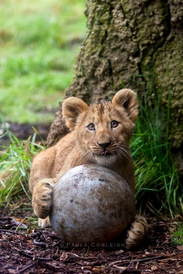 Amazing lion cubs pictures (37)