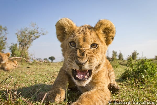 A playful lion cub snarls at BeetleCam.