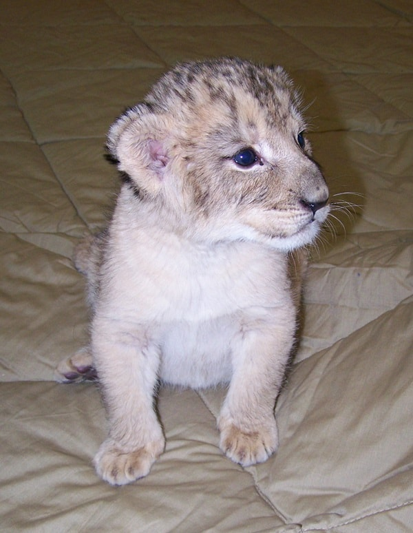 Amazing lion cubs pictures (39)