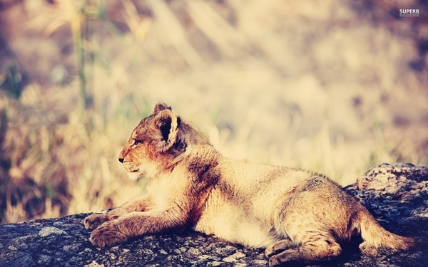Amazing lion cubs pictures (40)