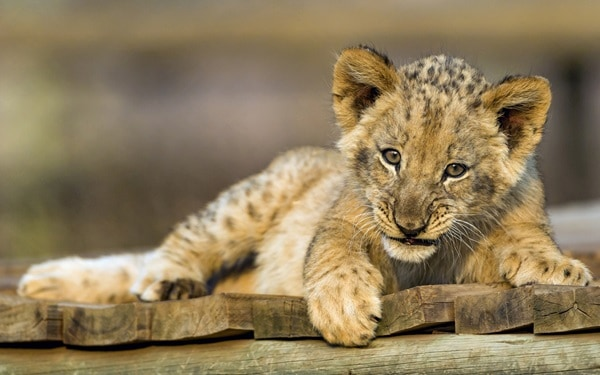 Amazing lion cubs pictures (41)