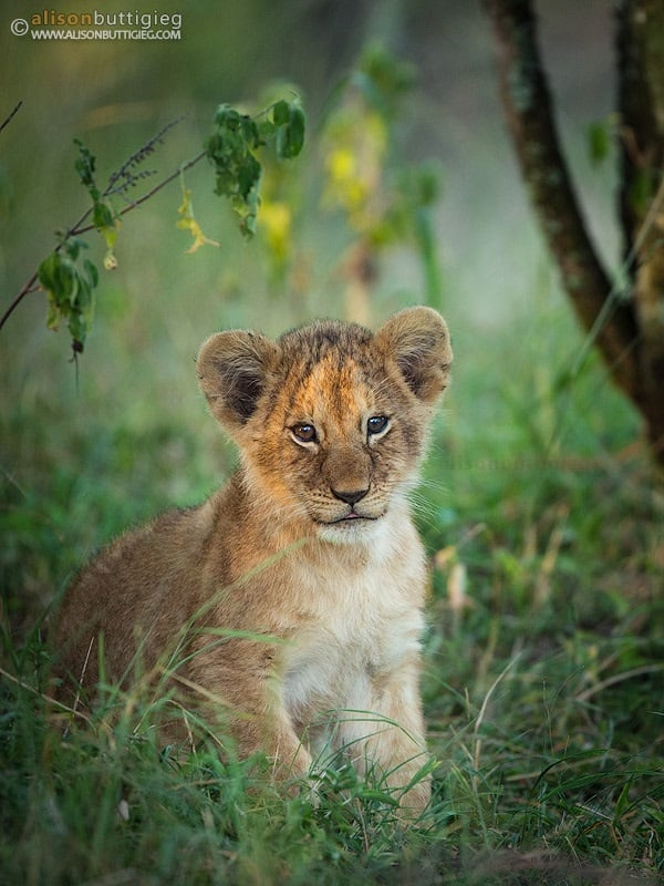Amazing lion cubs pictures (43)