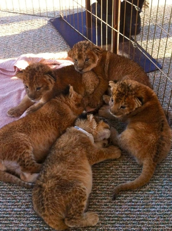 Amazing lion cubs pictures (44)
