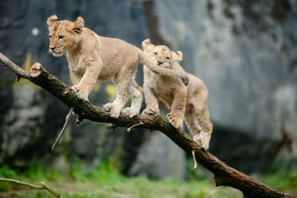 Amazing lion cubs pictures (45)