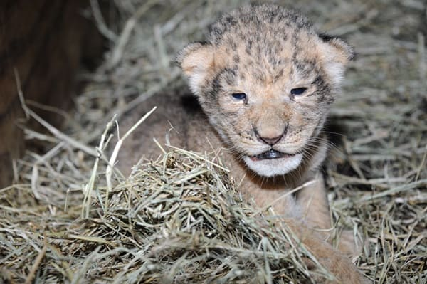 Amazing lion cubs pictures (48)