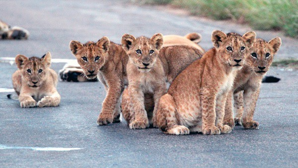 Amazing lion cubs pictures (49)