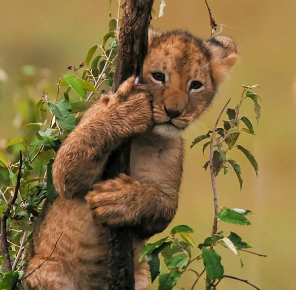 Amazing lion cubs pictures (5)