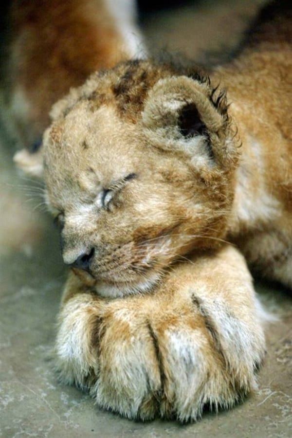 Amazing lion cubs pictures (51)