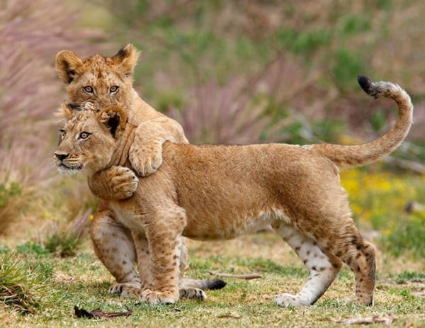 Amazing lion cubs pictures (53)