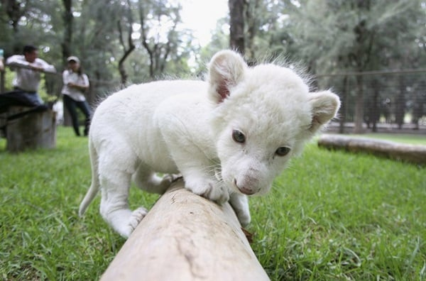 Amazing lion cubs pictures (54)