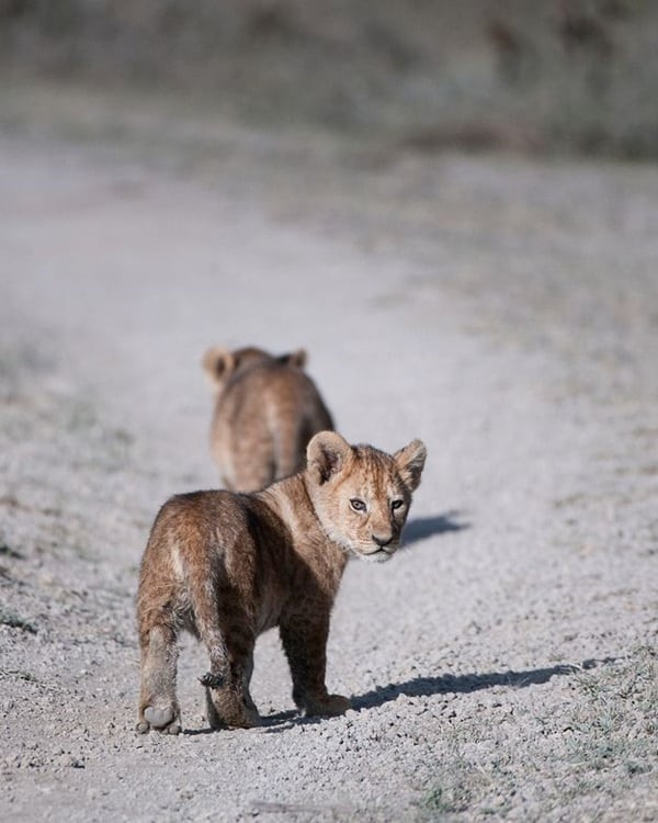 Amazing lion cubs pictures (6)