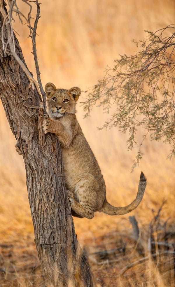 Amazing lion cubs pictures (7)
