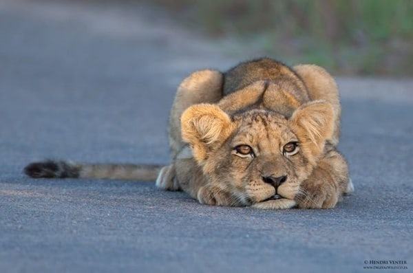 Amazing lion cubs pictures (8)