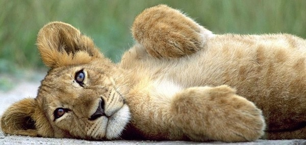 Amazing lion cubs pictures (9)