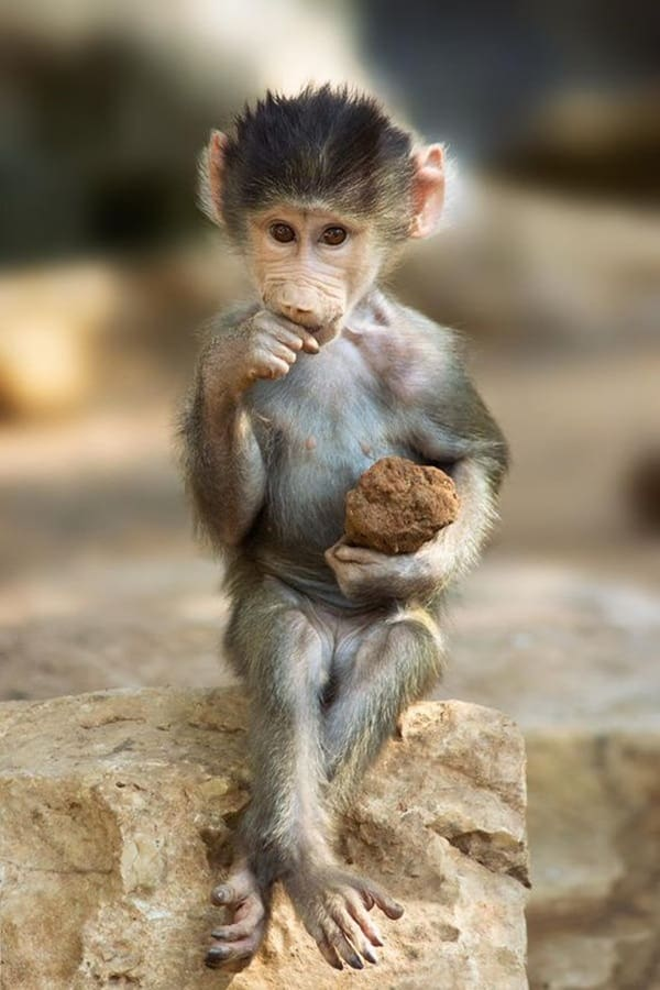 50 cute and adorable baby monkey pictures