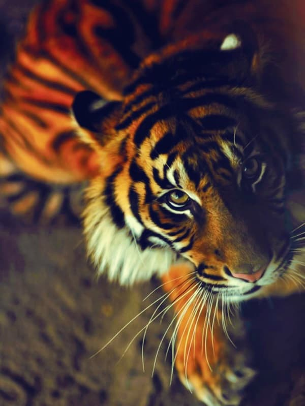 Tiger Photography (1)