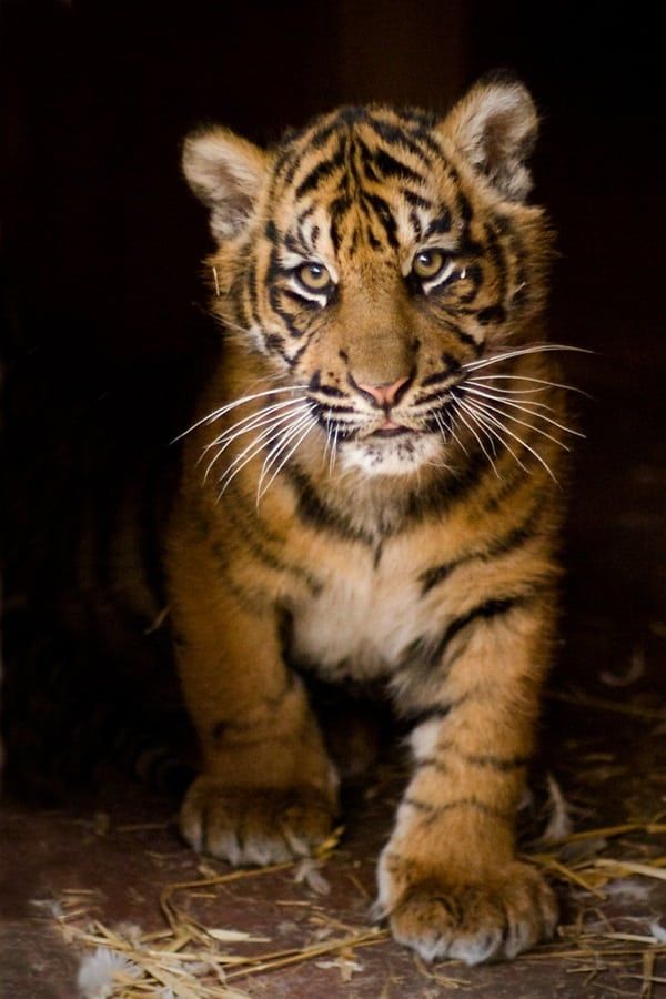 Tiger Photography (11)