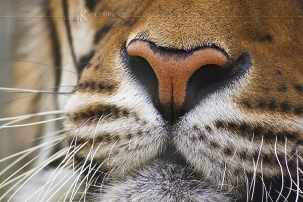 Tiger Photography (13)