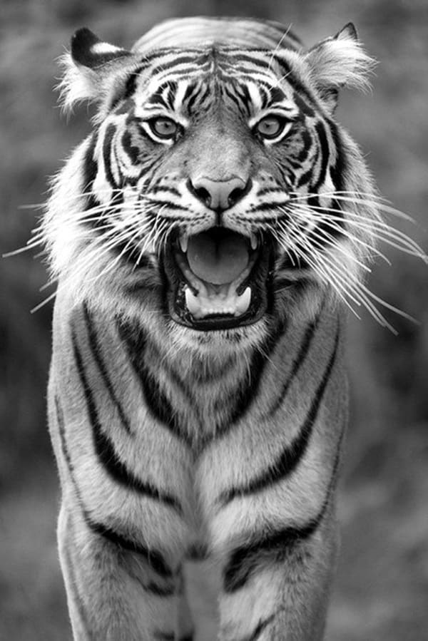 Tiger Photography (15)