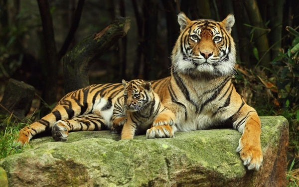 Tiger Photography (17)
