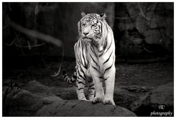 Tiger Photography (18)