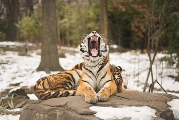 Tiger Photography (19)