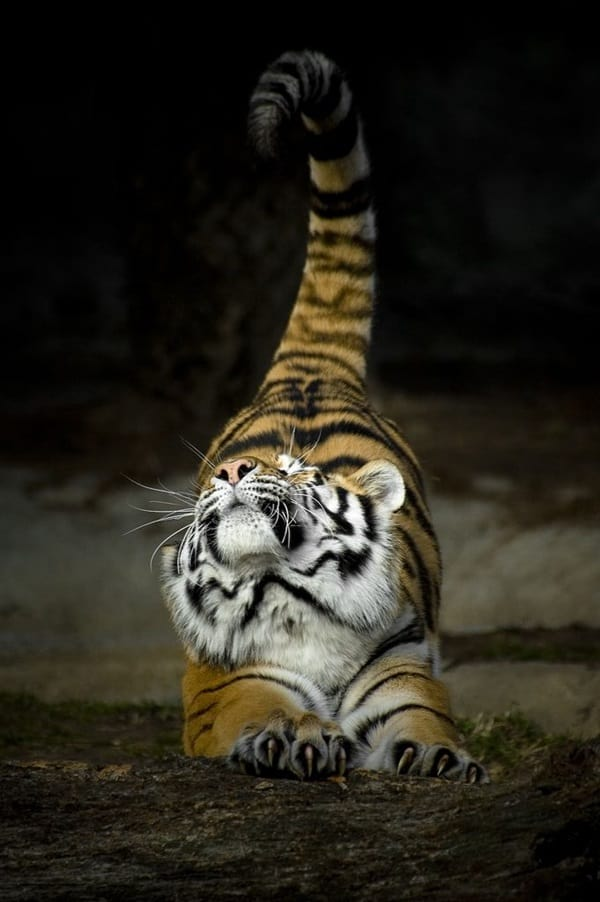 Tiger Photography (2)