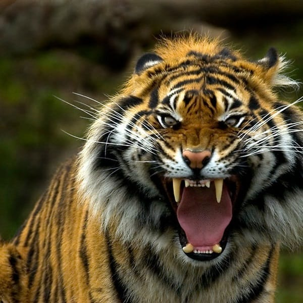 Tiger Photography (21)