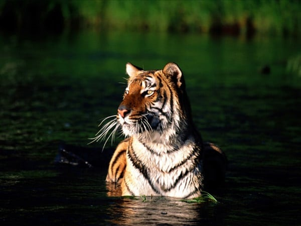 Tiger Photography (23)