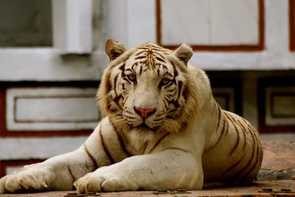 Tiger Photography (24)