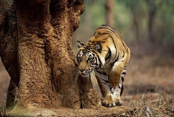 Tiger Photography (25)