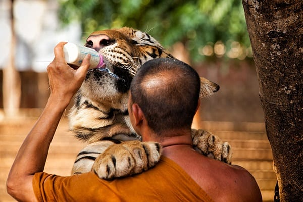Tiger Photography (26)