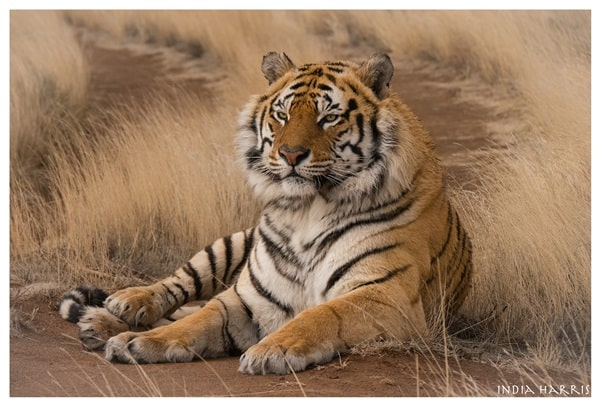 Tiger Photography (28)