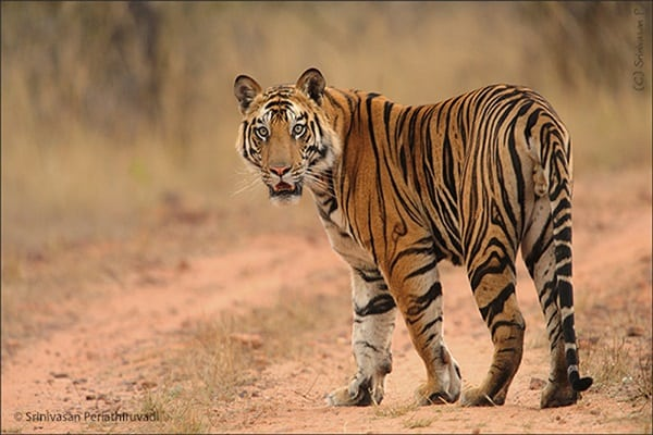 Tiger Photography (29)