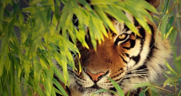 Tiger Photography (3)