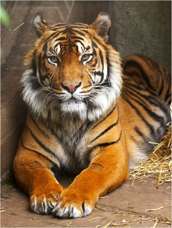 Tiger Photography (30)