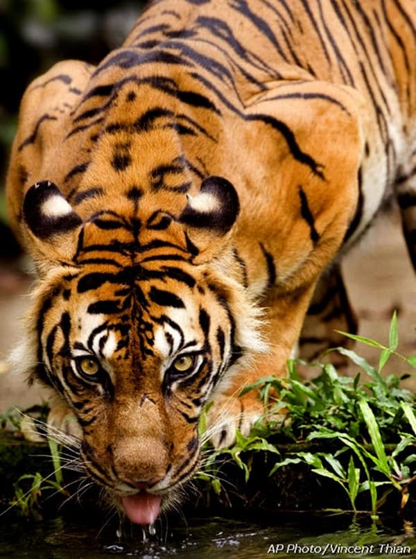 Tiger Photography (31)