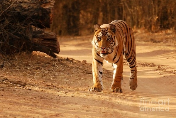 Tiger Photography (32)