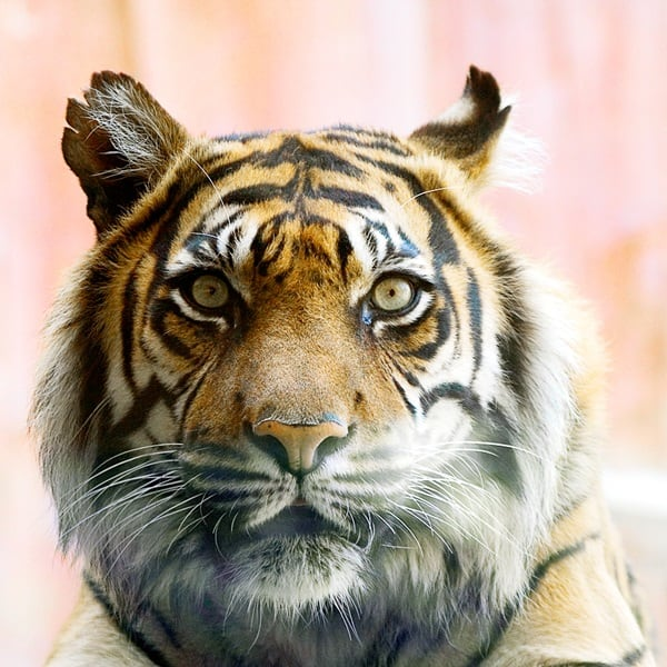 Tiger Photography (34)